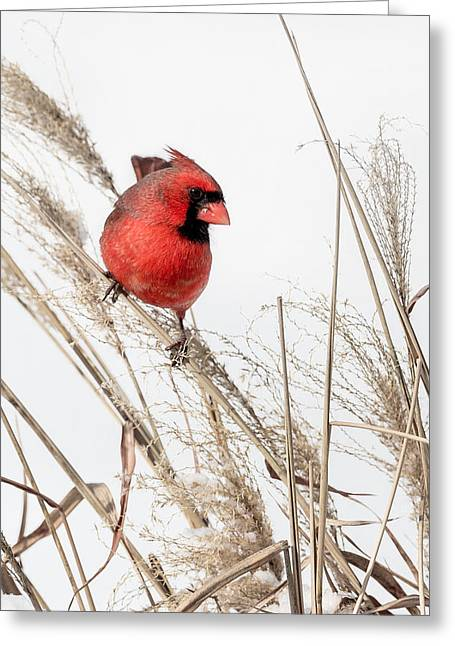 Male Northern Cardinal Greeting Cards - Common Northern Cardinal Greeting Card by Bill  Wakeley