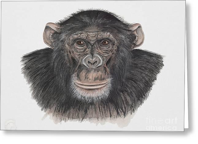 Orangutan Drawings Greeting Cards - Common or Robust Chimpanzee - Pan troglodytes - Chimpanze - Chimpance - Scimpanze - Simpansi - Ape  Greeting Card by Urft Valley Art