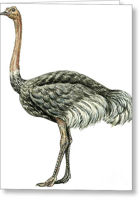 White Background Drawings Greeting Cards - Common ostrich Greeting Card by Anonymous