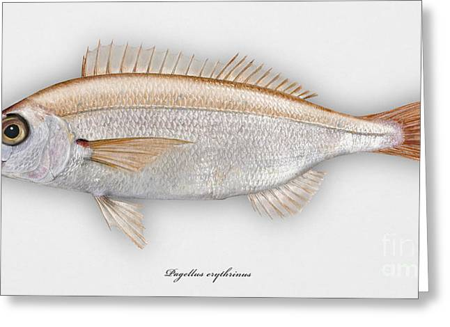Fresh Food Drawings Greeting Cards - Common pandora Pagellus erythrinus - Pageot commun - Breca - Bica - Punapagelli - Seafood Art Greeting Card by Urft Valley Art
