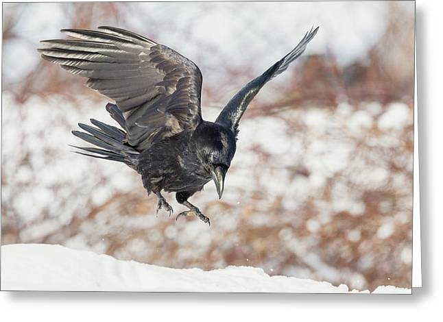 Common Raven Greeting Card by Bill Wakeley