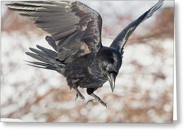 Ravens Greeting Cards - Common Raven Square Greeting Card by Bill  Wakeley