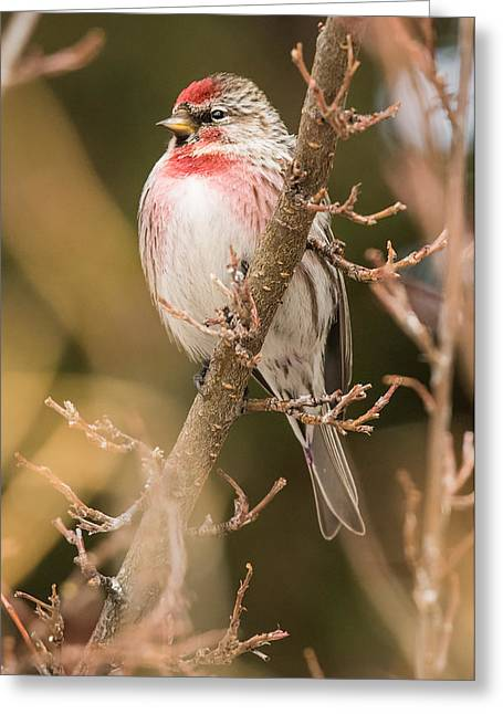 Arctic Rose Greeting Cards - Common Redpoll in Trees Greeting Card by Dawn Y Wilson