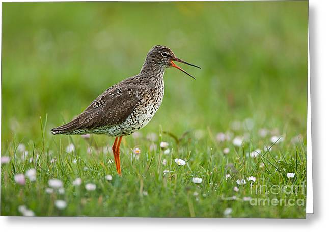 British Fauna Greeting Cards - Common Redshank Greeting Card by Thomas Hanahoe