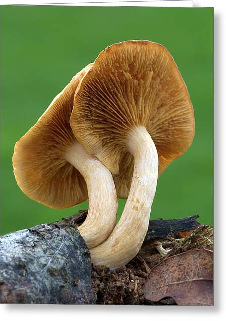 Common Rustgill Fungus Greeting Card by Nigel Downer