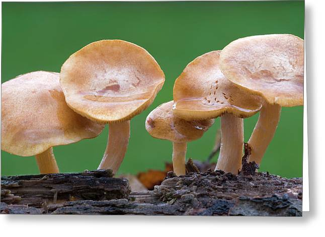 Common Rustgill (gymnopilus Penetrans) Greeting Card by Nigel Downer