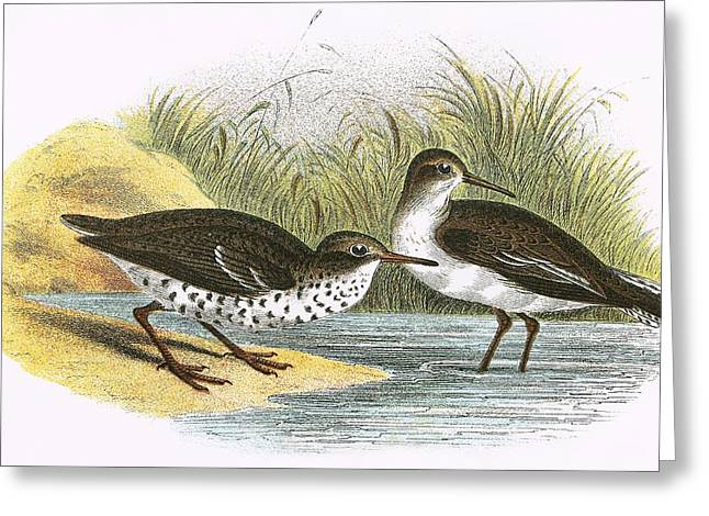 Sandpipers Greeting Cards - Common Sandpiper Right And Spotted Sandpiper Left Greeting Card by English School