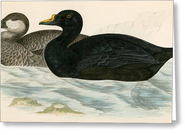 Hunting Bird Greeting Cards - Common Scoter Greeting Card by Beverley R. Morris