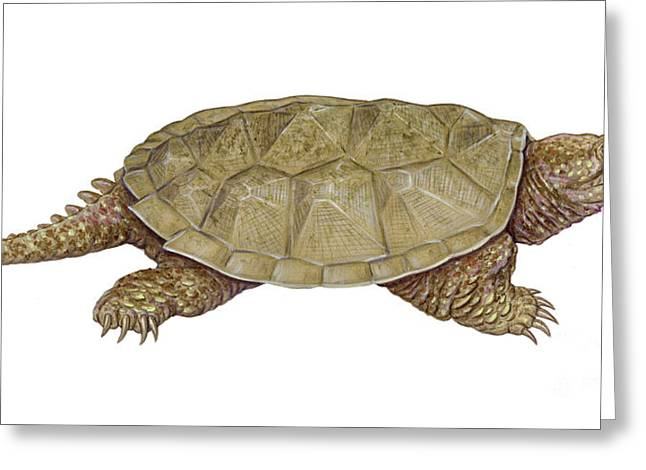 Chordata Greeting Cards - Common Snapping Turtle Greeting Card by Carlyn Iverson