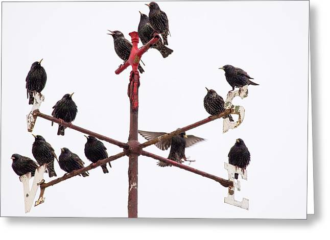 Common Starlings Greeting Card by Ashley Cooper