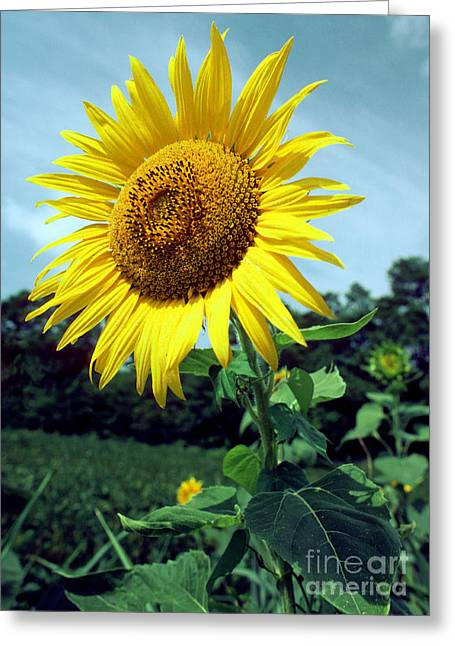 Medicinal Plant Greeting Cards - Common Sunflower Greeting Card by Millard H. Sharp