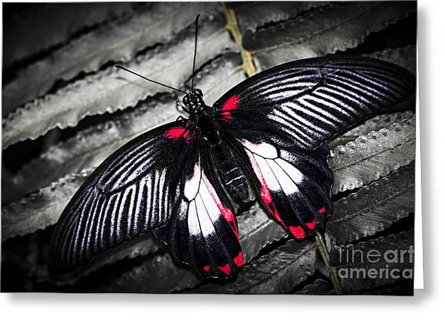 Antenna Greeting Cards - Common swallowtail butterfly Greeting Card by Elena Elisseeva