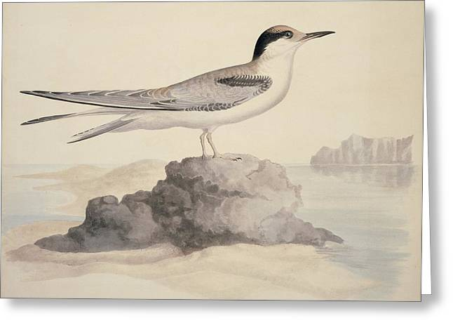Hirundo Greeting Cards - Common tern, 19th century artwork Greeting Card by Science Photo Library