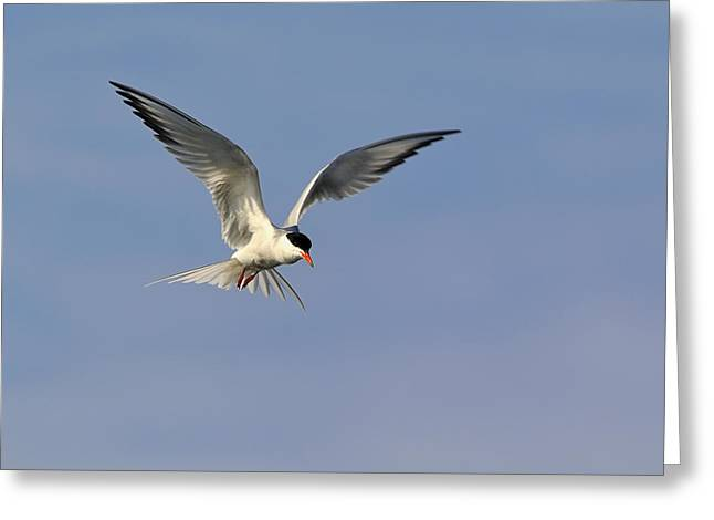 Tern Greeting Cards - Common Tern Hovering Greeting Card by Tony Beck
