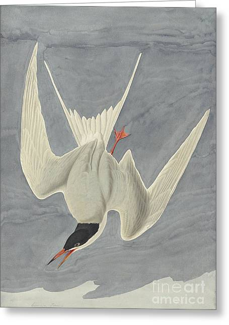 Tern Drawings Greeting Cards - Common Tern Greeting Card by John James Audubon