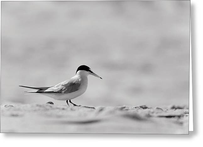 Shore Bird Print Greeting Cards - Common Tern on Sandy Beach Greeting Card by Stephanie McDowell