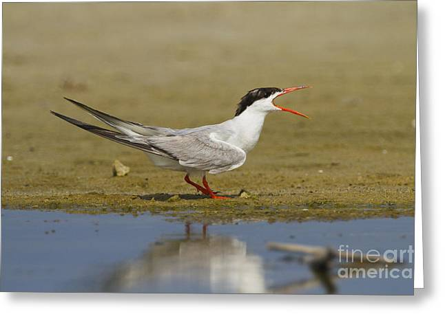 Hirundo Greeting Cards - Common tern Sterna hirundo Greeting Card by Eyal Bartov