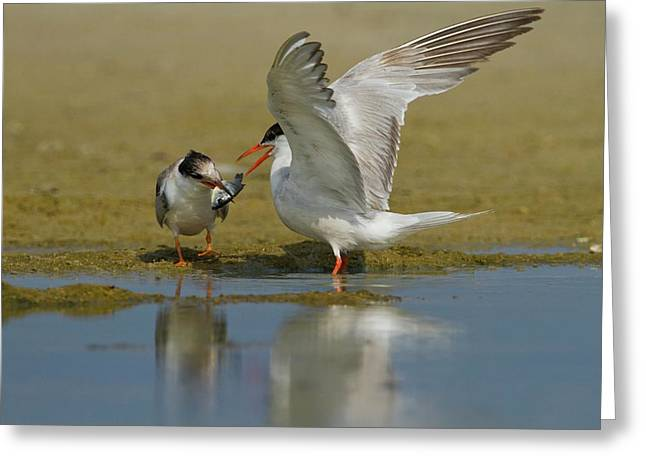 Common Tern (sterna Hirundo) Greeting Card by Photostock-israel