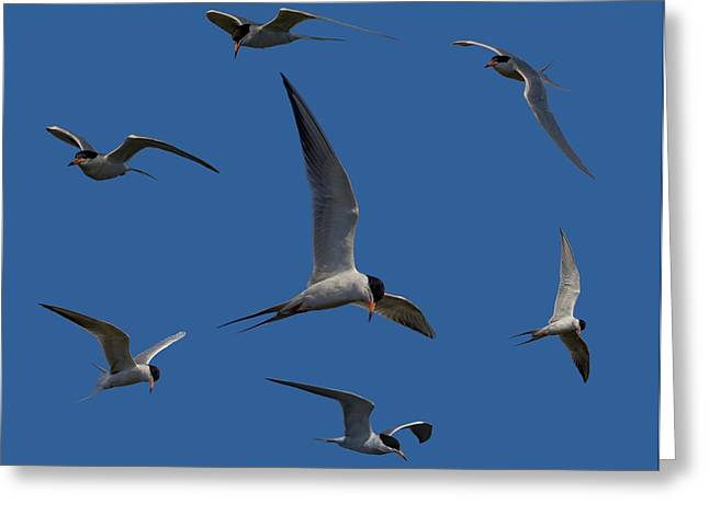 Tern Greeting Cards - Common Terns Collage Greeting Card by Ernie Echols