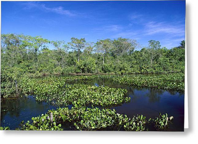 Paraguay Greeting Cards - Common Water Hyacinth Brazil Greeting Card by Konrad Wothe