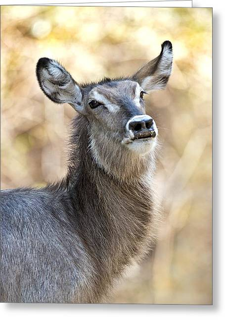 Zimbabwe Greeting Cards - Common waterbuck Greeting Card by Science Photo Library