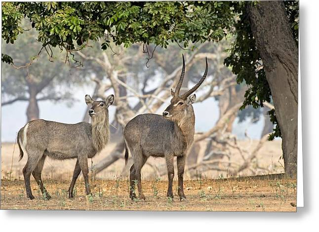 Zimbabwe Greeting Cards - Common waterbucks Greeting Card by Science Photo Library
