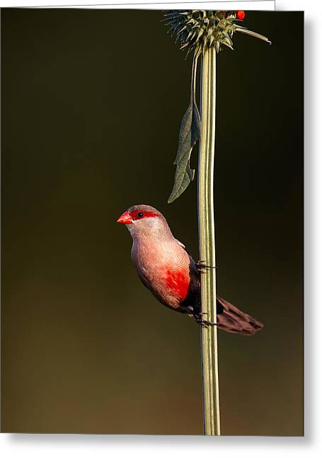 Sat Photographs Greeting Cards - Common waxbill Greeting Card by Johan Swanepoel