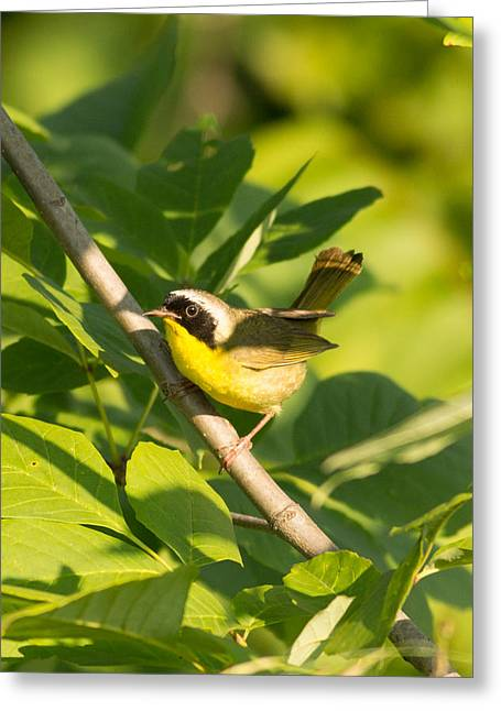 Natural Focal Point Photography Greeting Cards - Common Yellow Throat  Greeting Card by Natural Focal Point Photography