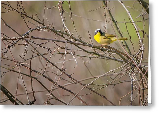 Warbler Greeting Cards - Common Yellowthroat Greeting Card by Bill  Wakeley