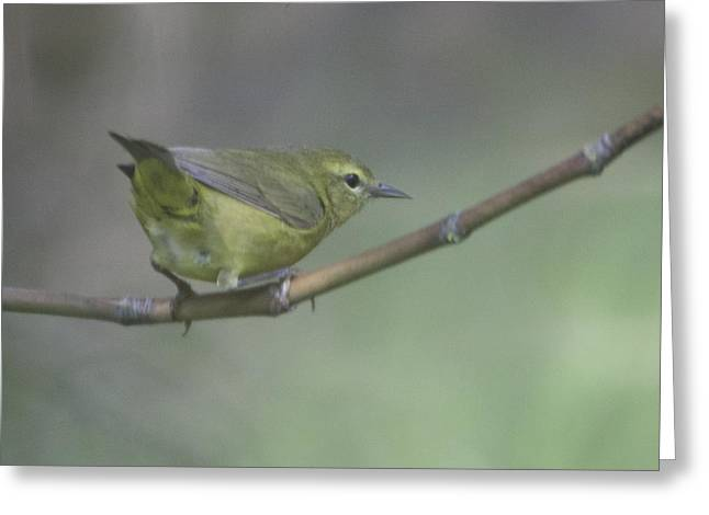 Common Yellowthroat Female Greeting Card by Graham Foulkes
