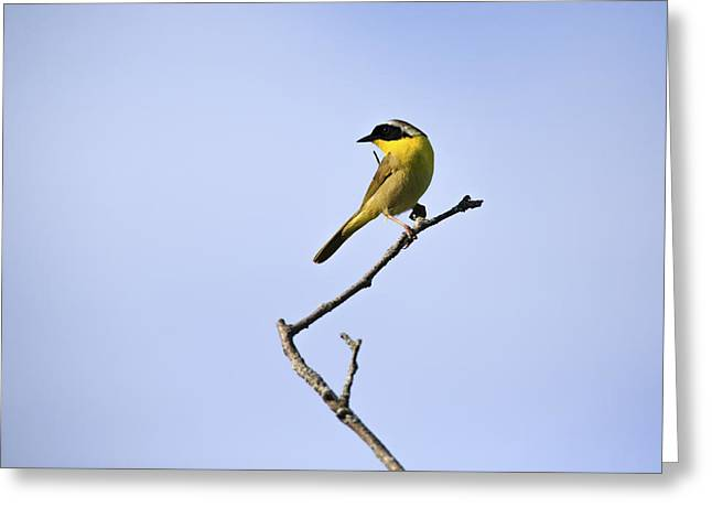 Wood Warbler Greeting Cards - Common Yellowthroat Greeting Card by Gary Hall