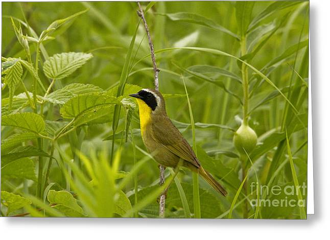 Grassy Field Greeting Cards - Common Yellowthroat - Male Greeting Card by Linda Freshwaters Arndt