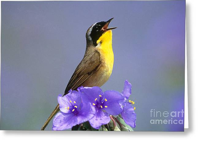 Wood Warbler Greeting Cards - Common Yellowthroat Greeting Card by Steve and Dave Maslowski
