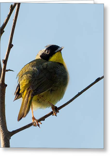 Warbler Greeting Cards - Common Yellowthroat Warbler Greeting Card by Bill  Wakeley