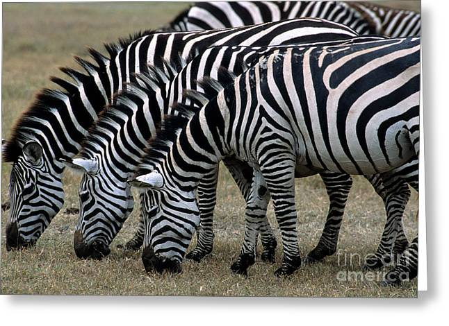Zebra Eating Greeting Cards - Common Zebras Grazing Greeting Card by William H. Mullins