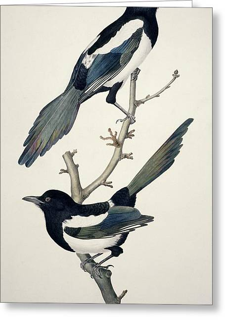 1800s Greeting Cards - Comon magpies,19th century artwork Greeting Card by Science Photo Library