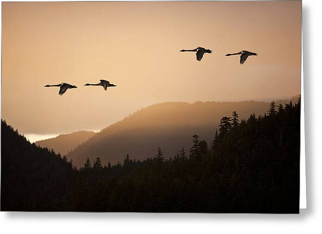 Trumpeter Silhouette Greeting Cards - Composite Trumpeter Swans In Flight At Greeting Card by John Hyde
