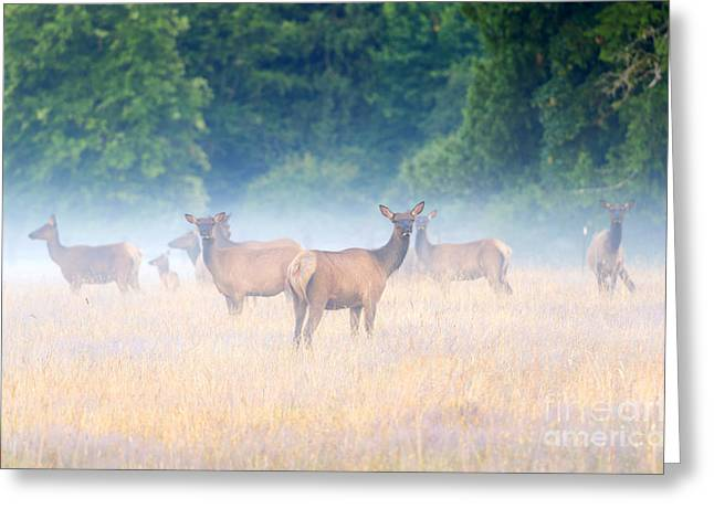 Elk Greeting Cards - Concealed by the Fog Greeting Card by Mike Dawson