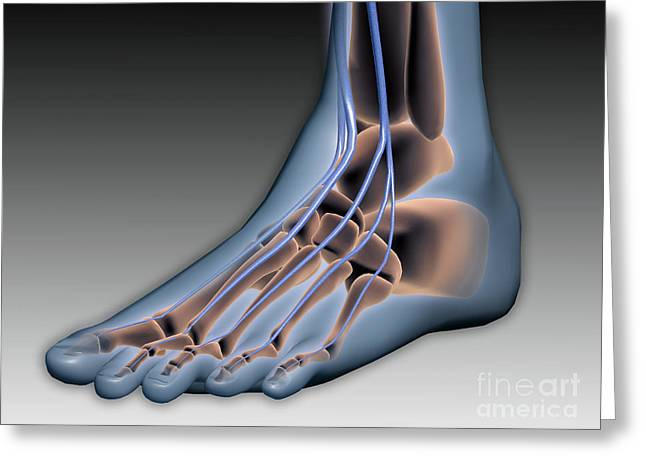 Human Joint Greeting Cards - Conceptual Image Of Human Foot Greeting Card by Stocktrek Images