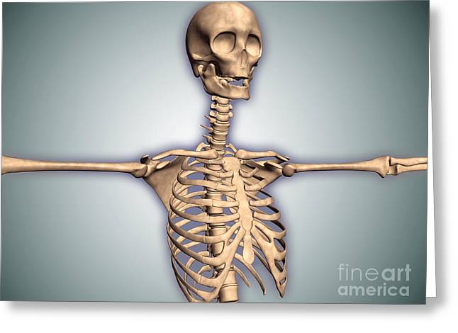 False Front Greeting Cards - Conceptual Image Of Human Rib Cage Greeting Card by Stocktrek Images