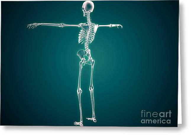 Interchondral Ribs Greeting Cards - Conceptual Image Of Human Skeletal Greeting Card by Stocktrek Images