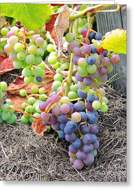 Concord Grapes Greeting Cards - Concord Grapes Greeting Card by Helene Guertin