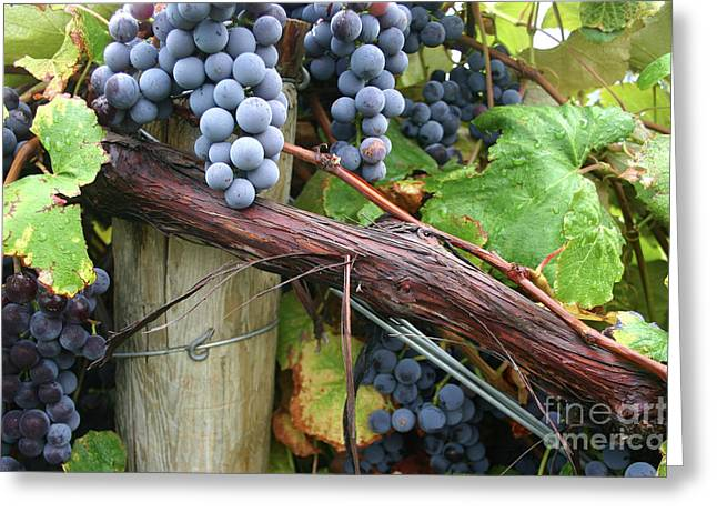 Concord Grapes Greeting Cards - Concord Purple Greeting Card by Wendy Raatz Photography