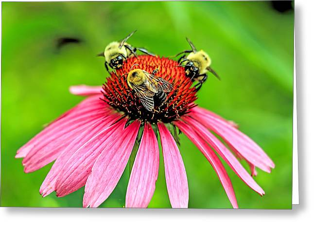 Cone Flower With Three Bees Greeting Card by Geraldine Scull