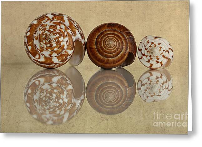 Cone Shells Greeting Cards - Cone Shells Greeting Card by Cindi Ressler