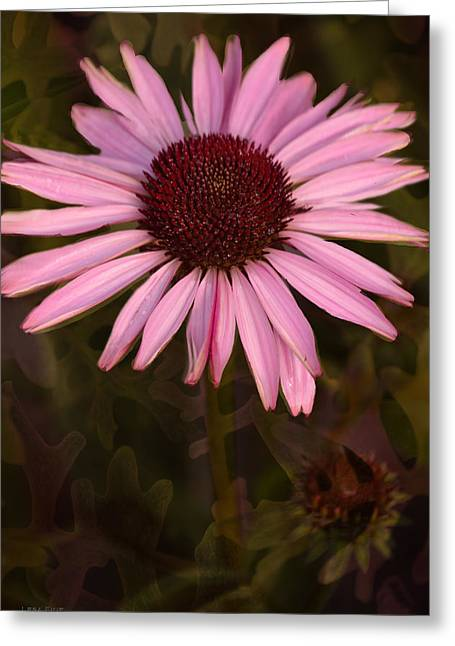 Flower Art Greeting Cards - Coneflower and Dusty Miller Greeting Card by Lesa Fine