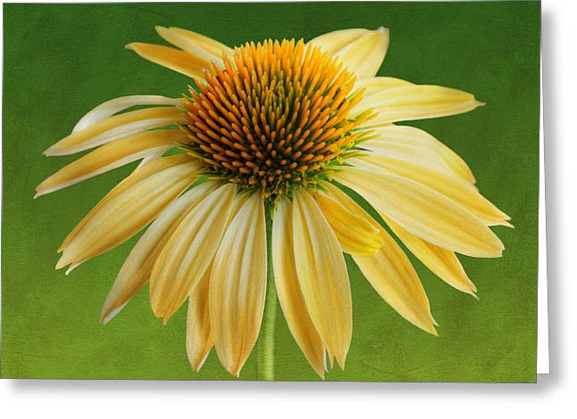 Nature Center Greeting Cards - Coneflower - Backyard Beauty Greeting Card by Nikolyn McDonald