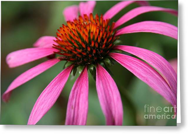Wildflower Photos Greeting Cards - Coneflower Elegance  Greeting Card by Neal  Eslinger
