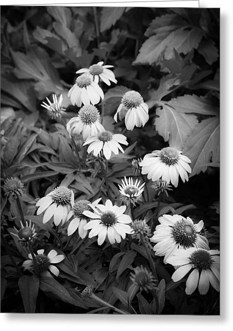 Abstracted Coneflowers Greeting Cards - Coneflowers Echinacea Red BW Greeting Card by Rich Franco