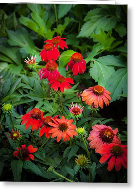 Abstracted Coneflowers Greeting Cards - Coneflowers Echinacea Red Painted  Greeting Card by Rich Franco